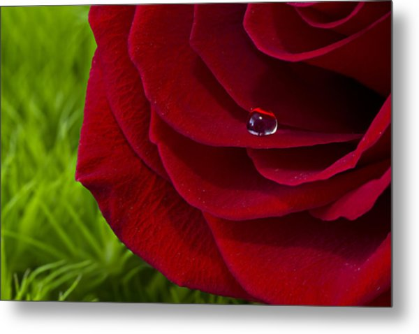 Drop On A Rose Metal Print