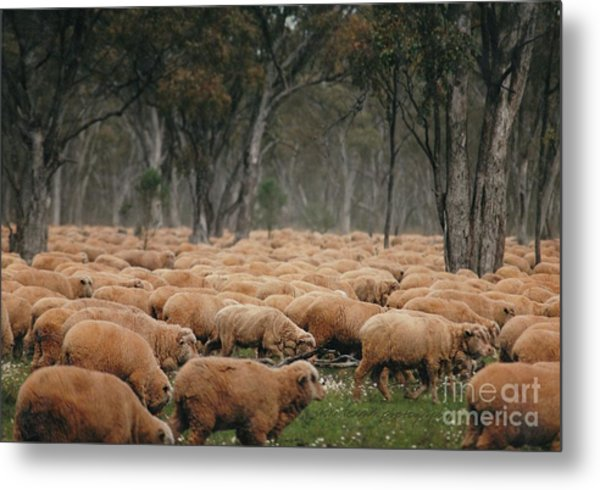 Droving Sheep  At Albert Australia Metal Print