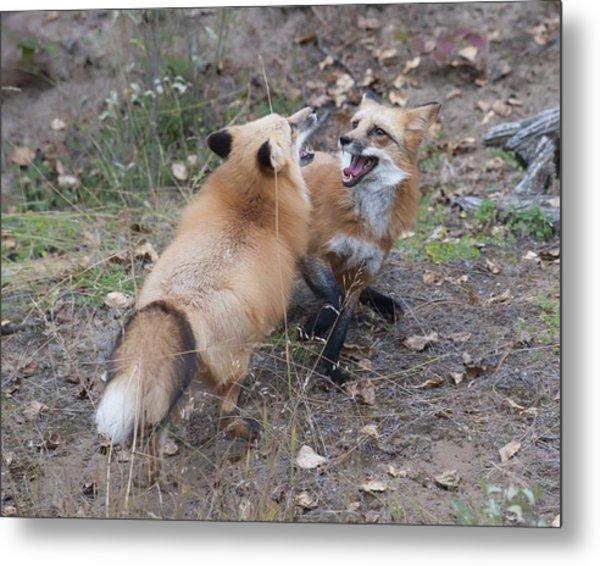 Dualing Red Foxes Metal Print by Ken Cornett