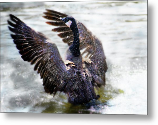 Duck Conductor Metal Print