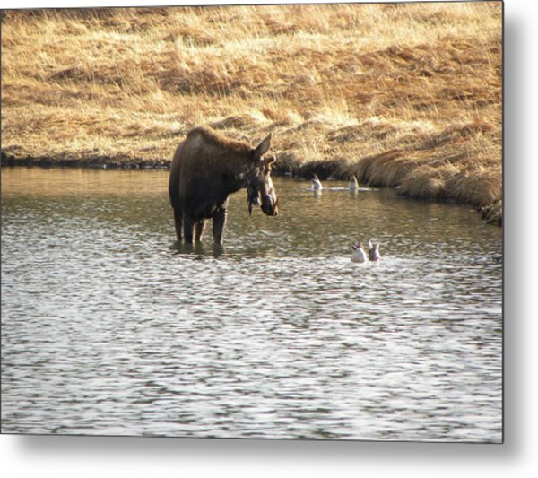 Ducks - Moose Rollinsville Co Metal Print