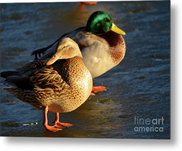 Duck Pair Sunbathing On Frozen Lake Metal Print