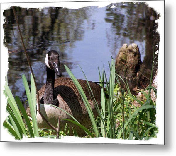 Duck Metal Print by Ralph  Perdomo