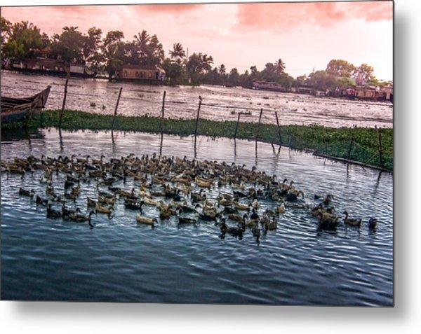 Ducks At Backwaters Around Alleppey, Kerala, India Metal Print