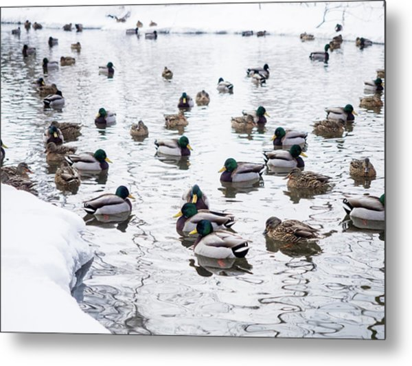 Ducks Swimming By Snowy Shore Metal Print
