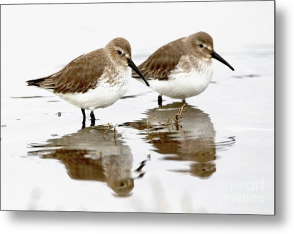 Dunlin Double Metal Print