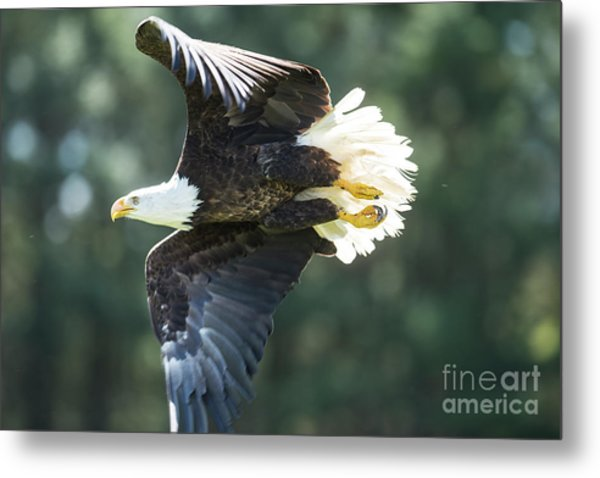 Eagle Flying 3005 Metal Print