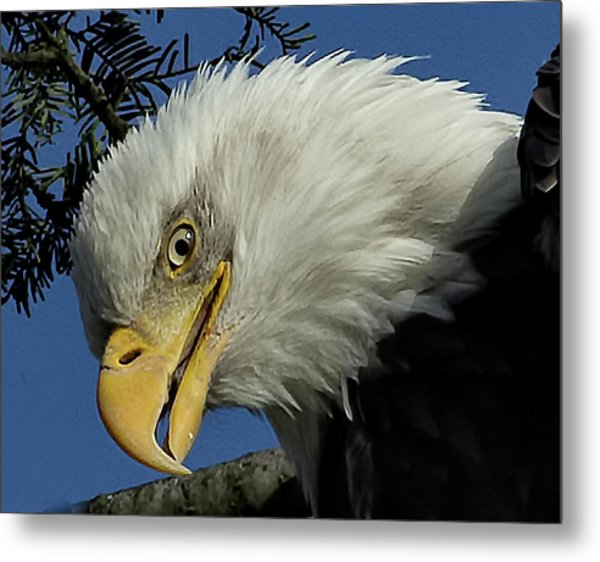 Eagle Head Metal Print