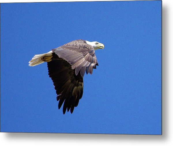 Eagle In Flight Metal Print by Don Youngclaus