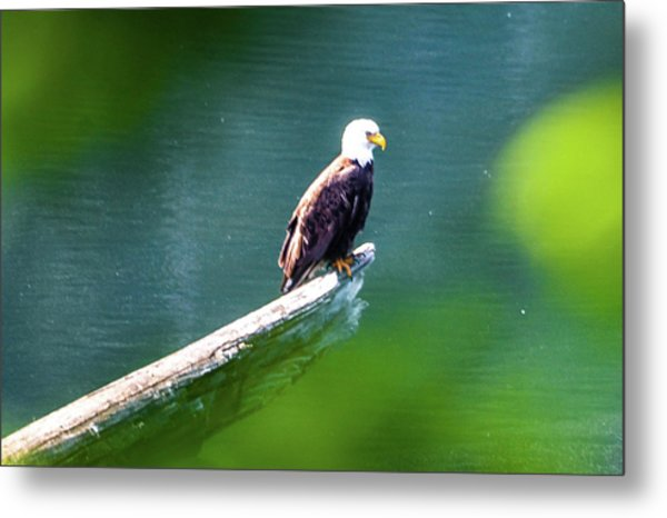 Eagle In Lake Metal Print