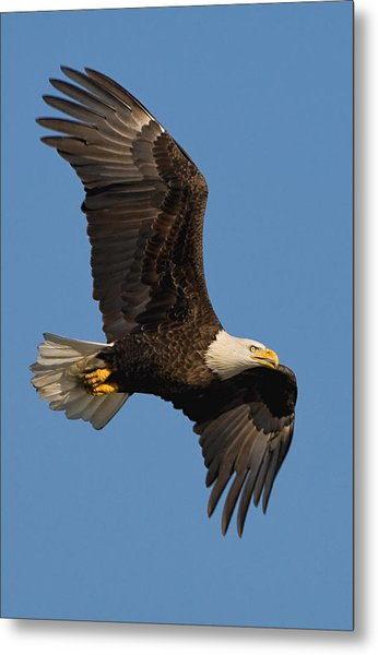Eagle In Sunlight Metal Print