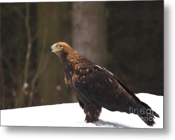 Eagle In The Snow Metal Print