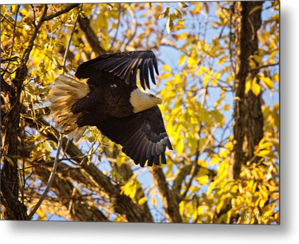 Eagle Launch Metal Print by Angel Cher