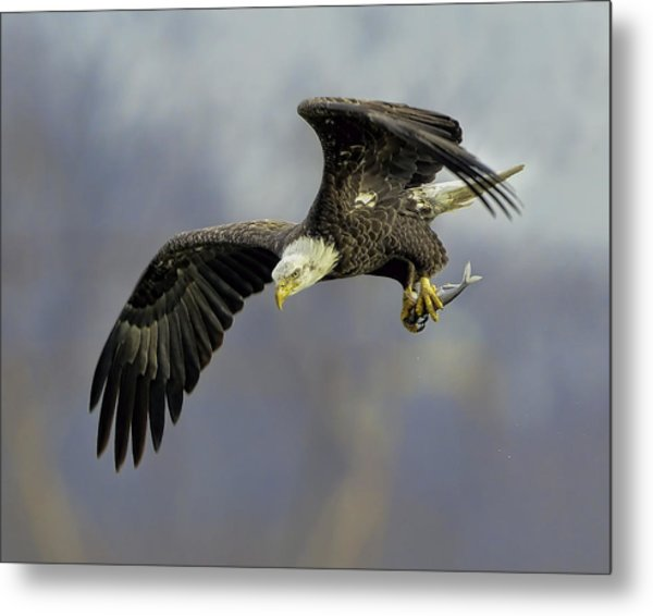 Eagle Power Dive Metal Print