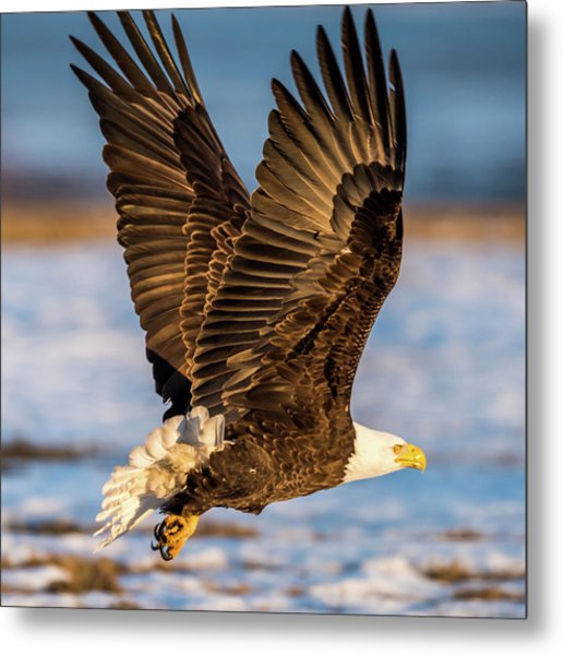 Eagle Taking Off Metal Print