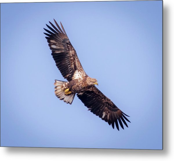 Metal Print featuring the photograph Eagle Watch 2018 - Third Year Bald Eagle  by Ricky L Jones