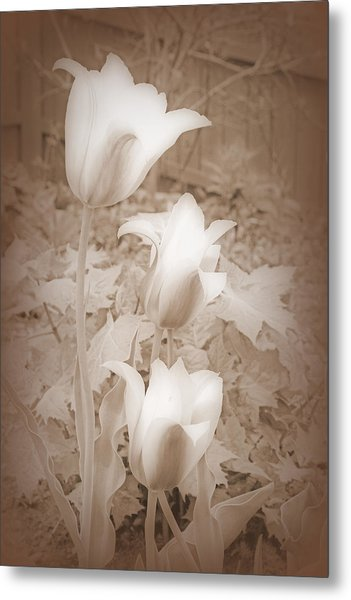 Early Blooming Tulips In Sepia Metal Print