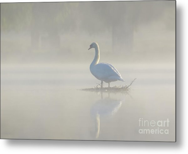 Early Morning Mute Swan - Cygnus Olor - On Serene, Misty Pond Metal Print