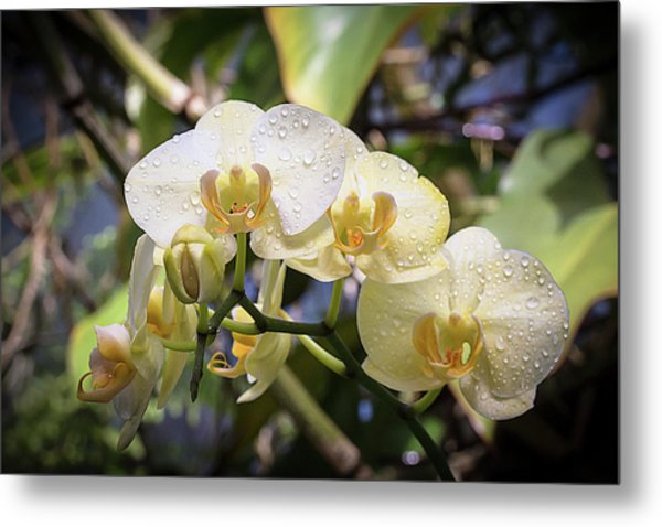 Early Morning Orchids Metal Print