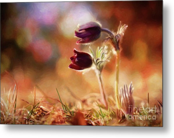 Early Morning Purple Pasque Metal Print