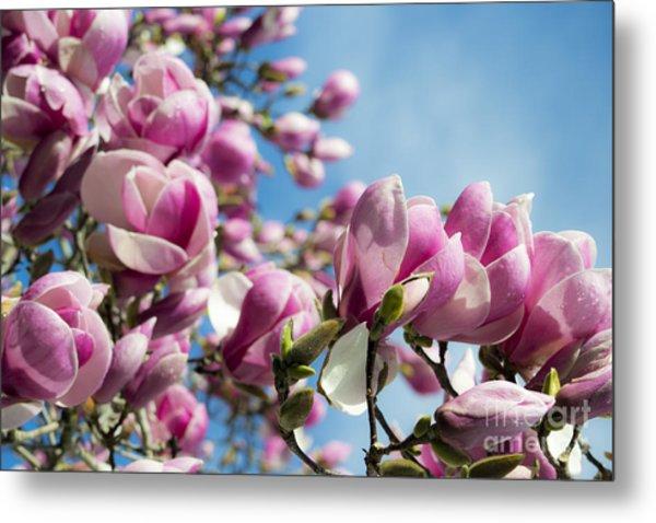 Early Spring Magnolia Metal Print