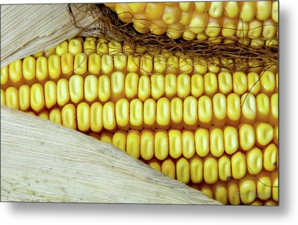 Ears Of Corn #2 Metal Print