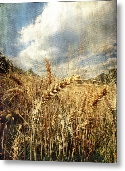 Ears Of Corn Metal Print