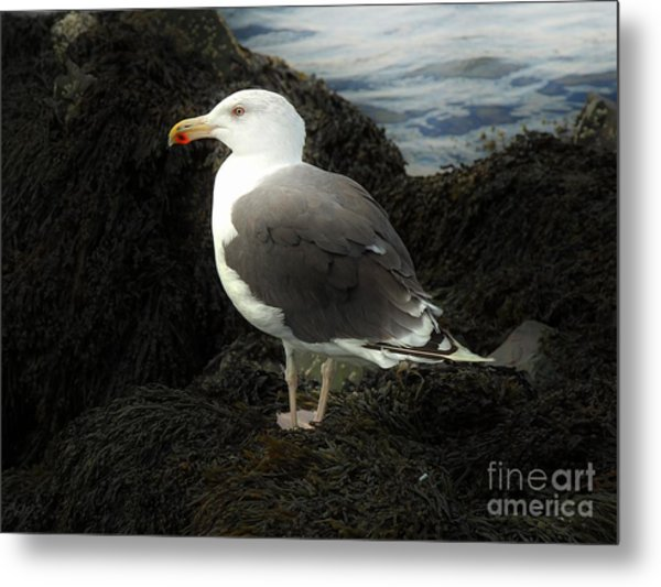 East Coast Herring Seagull Metal Print