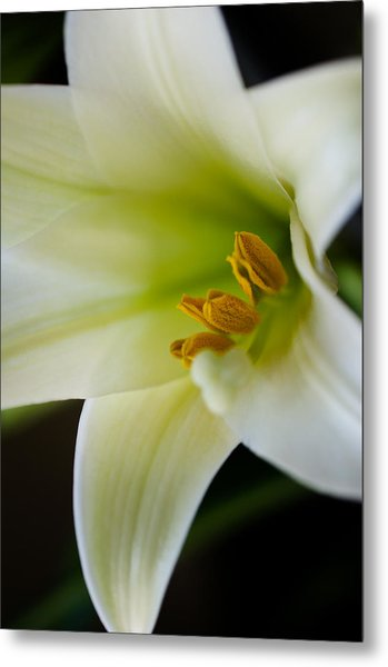 Easter Lily Color Metal Print by Edward Myers