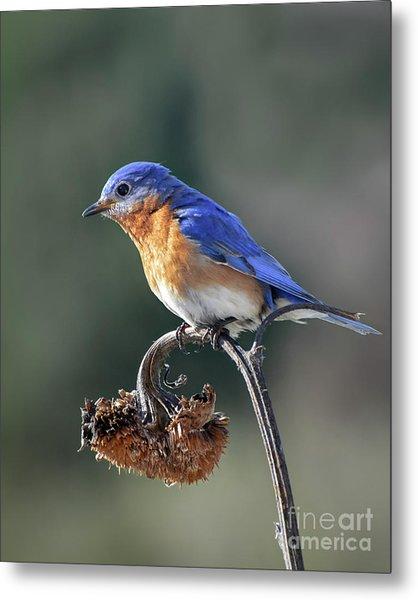 Eastern Bluebird In Spring Metal Print