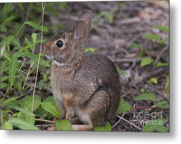 Eastern Cottontail 20120624_11a Metal Print