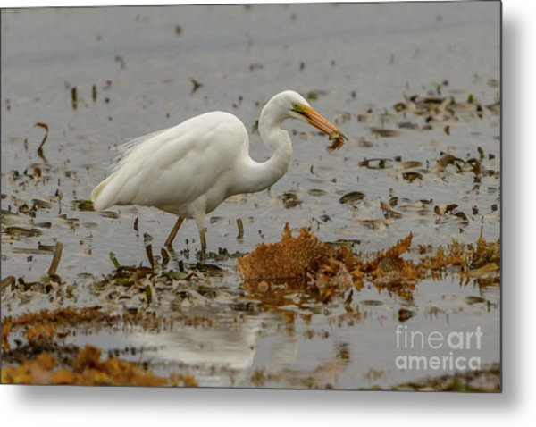 Eastern Great Egret 10 Metal Print