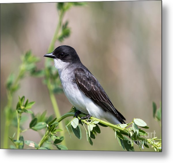 Eastern Kingbird Metal Print