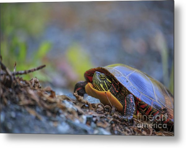 Metal Print featuring the photograph Eastern Painted Turtle Chrysemys Picta by Edward Fielding