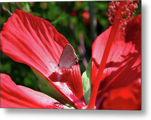 Eastern Tailed Blue Butterfly On Red Flower Metal Print