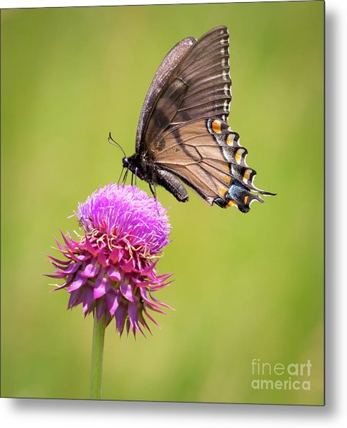 Eastern Tiger Swallowtail Dark Form  Metal Print