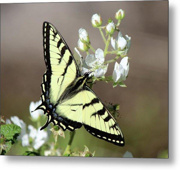 Eastern Tiger Swallowtail Female Metal Print