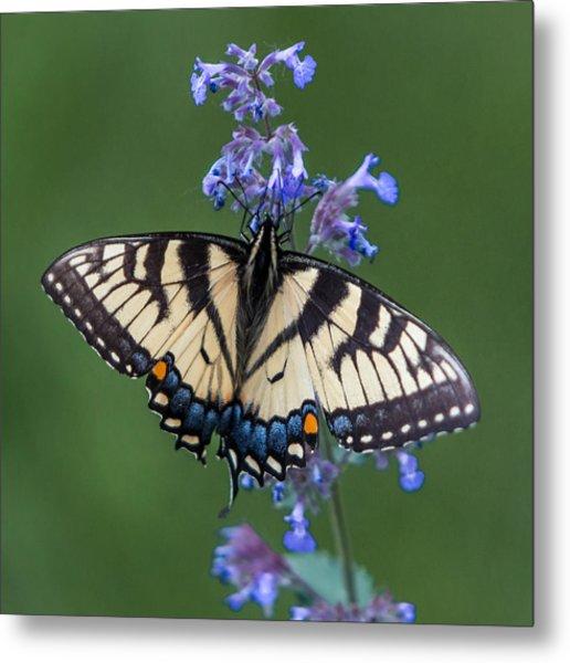 Eastern Tiger Swallowtail Wingspan Metal Print