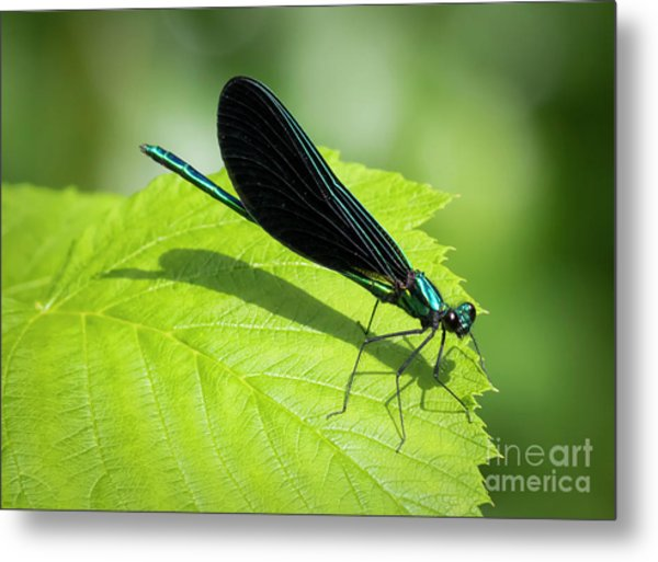 Ebony Jewelwing Metal Print