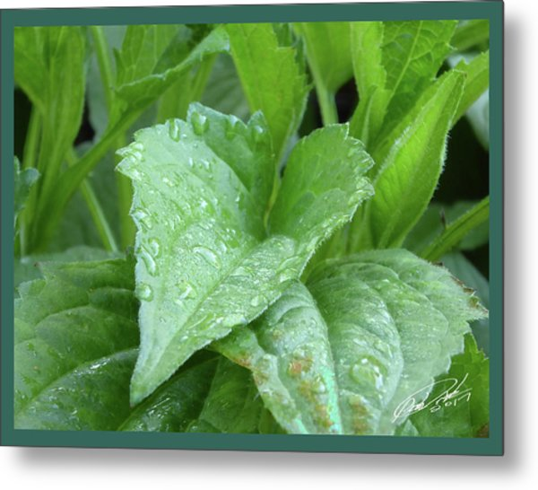 Echinacea After The Rain I Metal Print