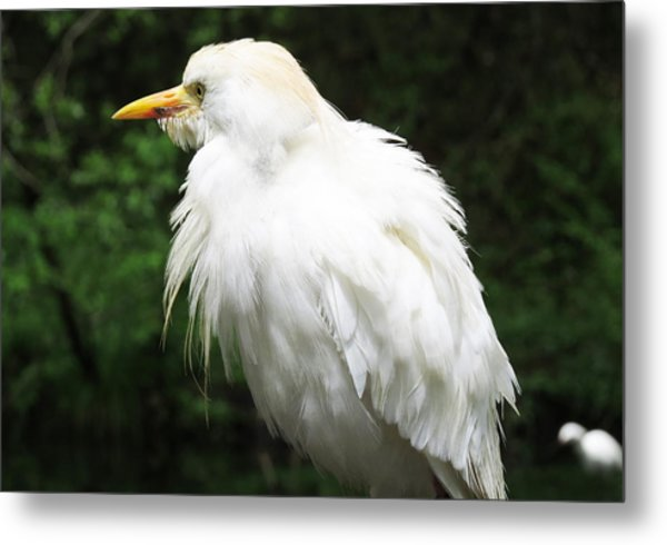 Egret Feeling Ruffled Metal Print