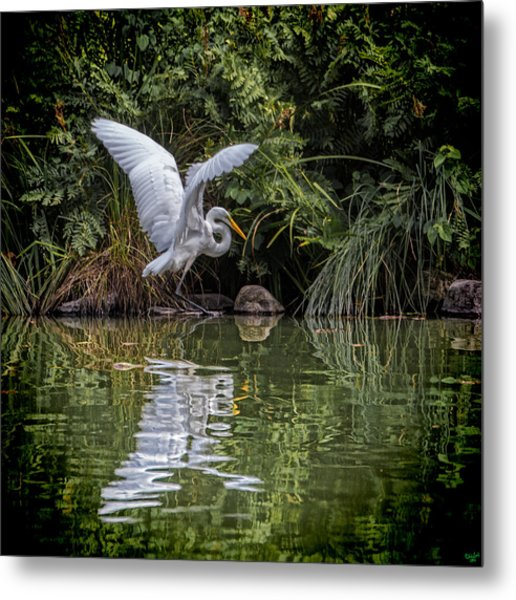 Egret Hunting For Lunch Metal Print