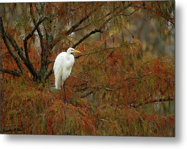 Egret In Autumn Metal Print
