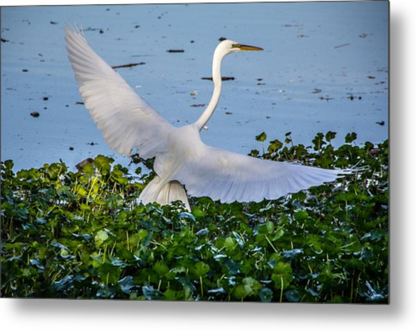 Egret With Wings Spread Metal Print