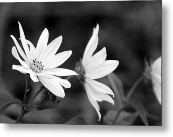 Elegant Asters Metal Print