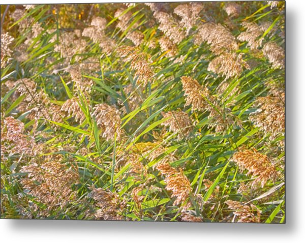 Elephant Grass Photo Metal Print by Peter J Sucy