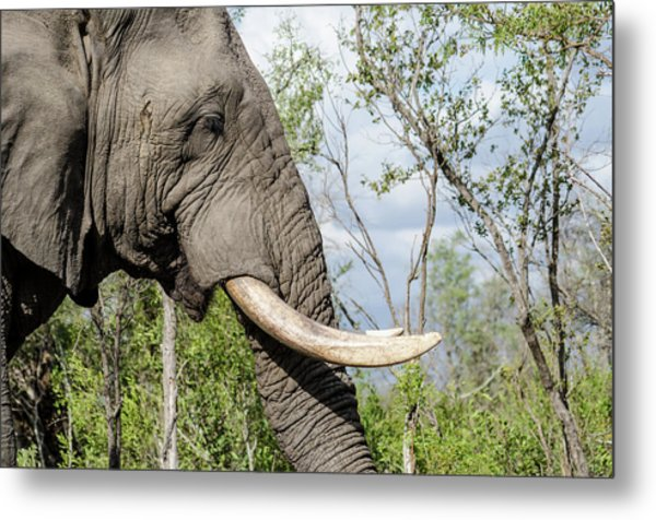 Metal Print featuring the photograph Elephant In Manyeleti Game Reserve by Rob Huntley