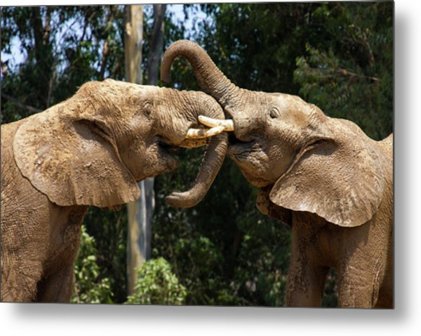 Elephant Play Metal Print