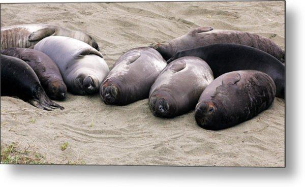 Elephant Seals Metal Print