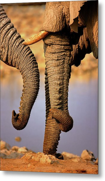Elephant Trunks Interacting Close-up Metal Print
